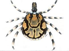 Drawing of Amblyomma hebraeum male